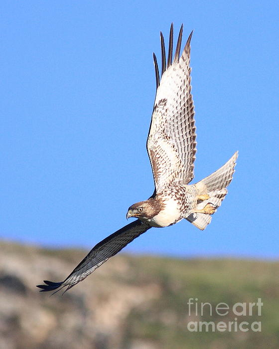 Red-tailed Hawk . 40d10968 Print by Wingsdomain Art and Photography