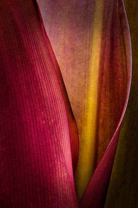 Kasandra Sproson - Red Ti Leaf Unfurling