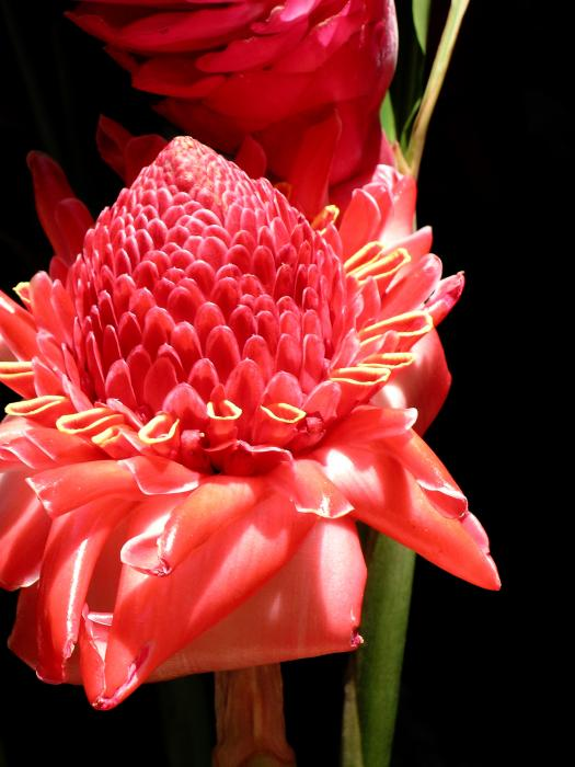 James Temple - Red Torch Ginger