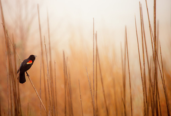 Red-winged Black Bird In Song Print by Michael Lawrence Photography