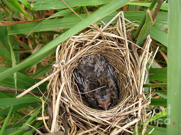 Red-winged Blackbird Baby In Nest Print by J McCombie