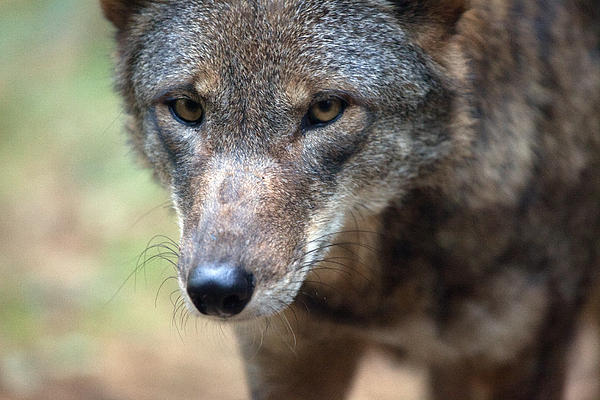 Red Wolf Closeup Print by Karol  Livote