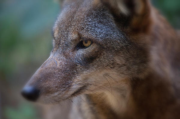 Red Wolf Stare Print by Karol  Livote
