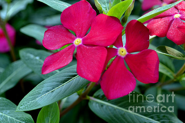Red Woodland Phlox Flowers Print by Eva Thomas