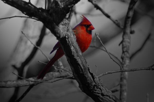 Redbird Print by Shawn Wood