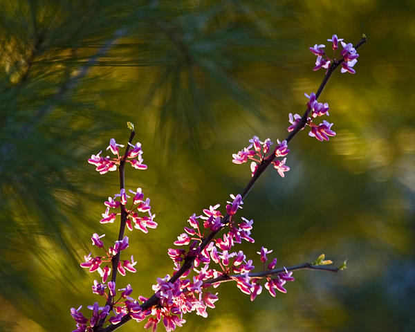 Redbud Print by Rob Travis