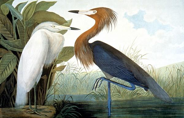 Reddish Egret, Print by Granger