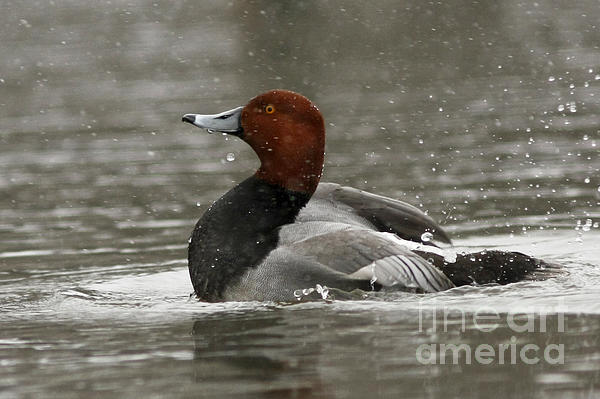 Redhead Duck Flapping Its Wings Print by Inspired Nature Photography By Shelley Myke