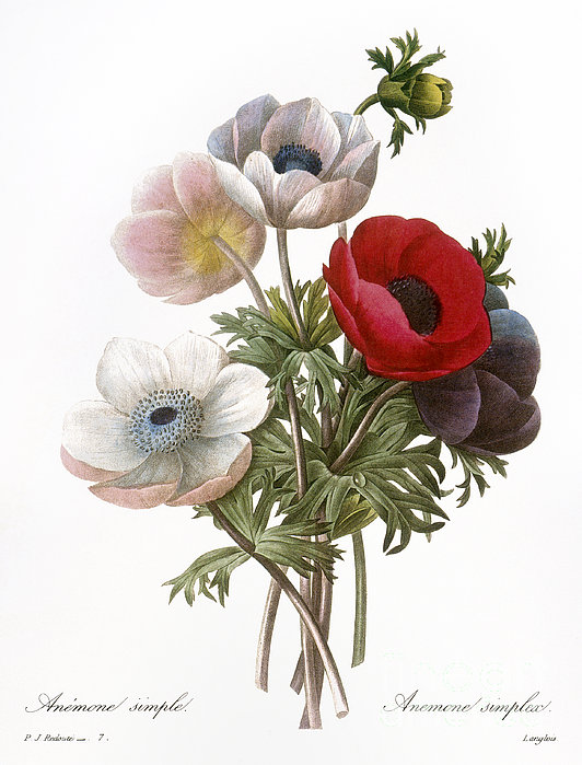 Redoute: Anemone, 1833 Print by Granger