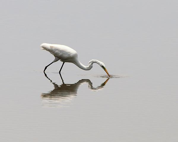 Al Powell Photography USA - Reflecting Egret