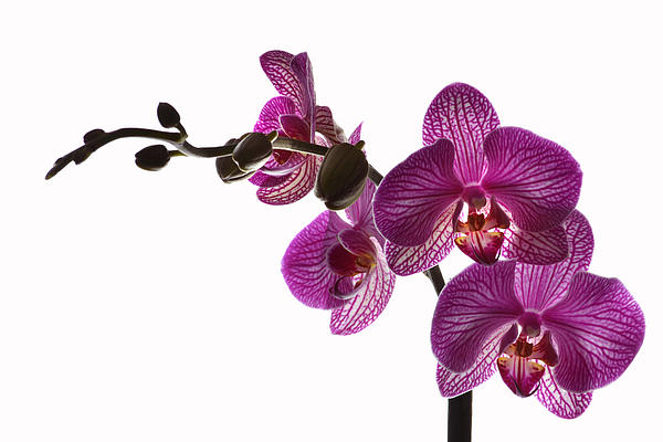 Terence Davis - Regal Orchid