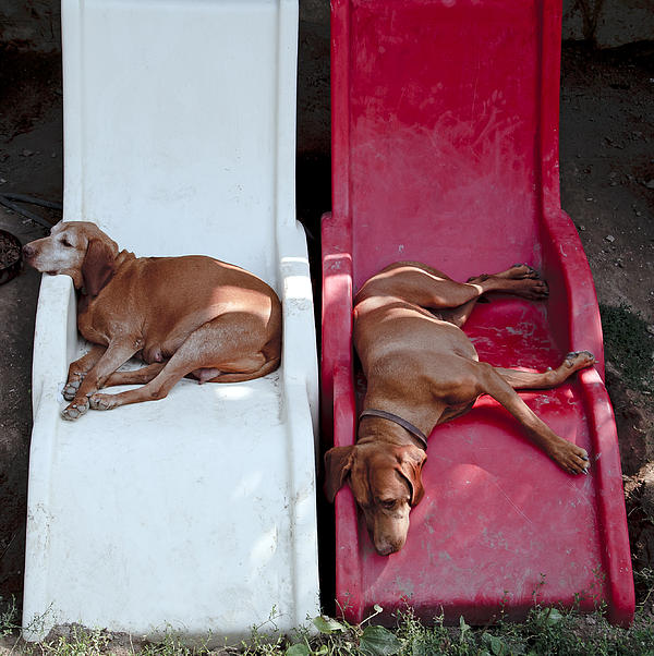 Relaxing Dogs Print By David Harding
