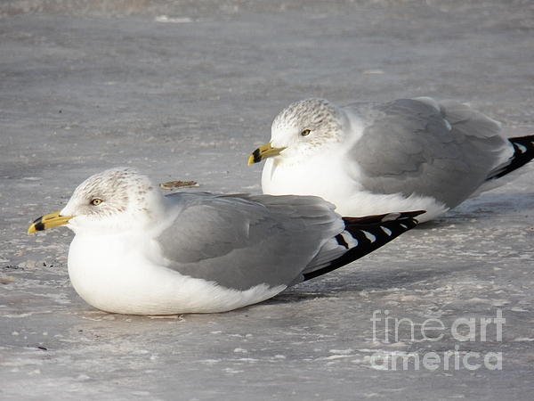 Resting On The Ice Print by Judy Via-Wolff