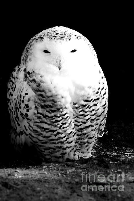 Resting Snowy Owl Print by Darcy Michaelchuk