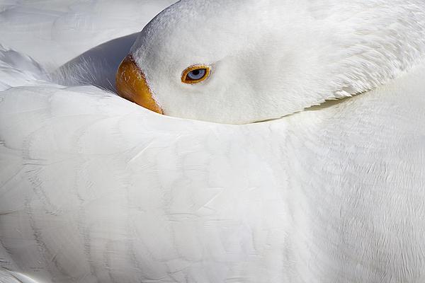 Phyllis Denton - Resting White Goose