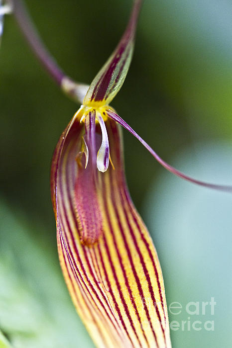 Restrepia radulifera  Photograph