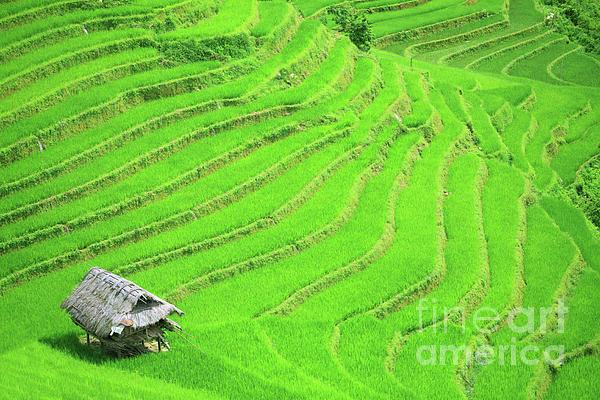 Rice Field Terraces Print by MotHaiBaPhoto Prints