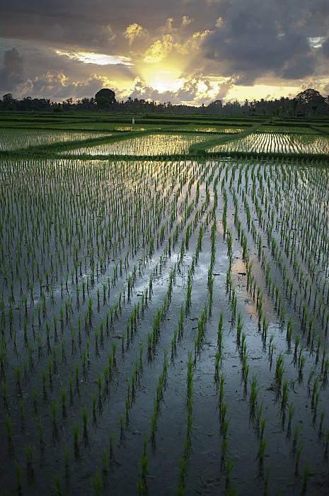 Rice Fields, Near Ubud Bali, Indonesia Print by Huy Lam