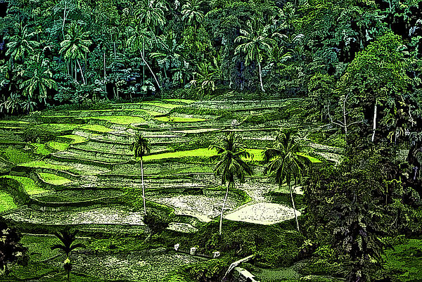 Rice Paddies Print by Steve Harrington