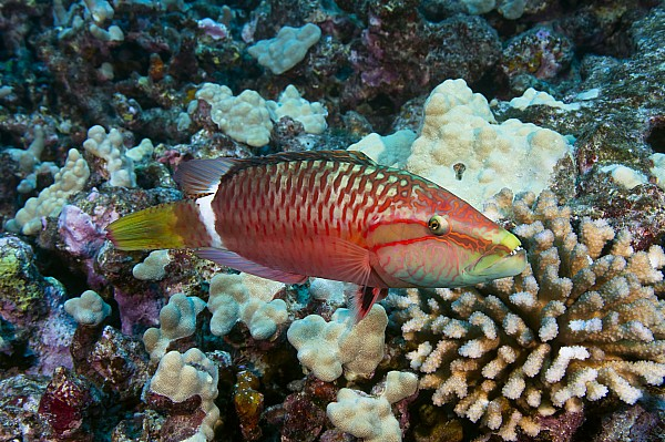 Ringtail wrasse Photograph