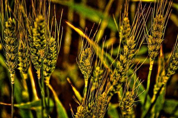 Ripening Wheat Print by David Patterson