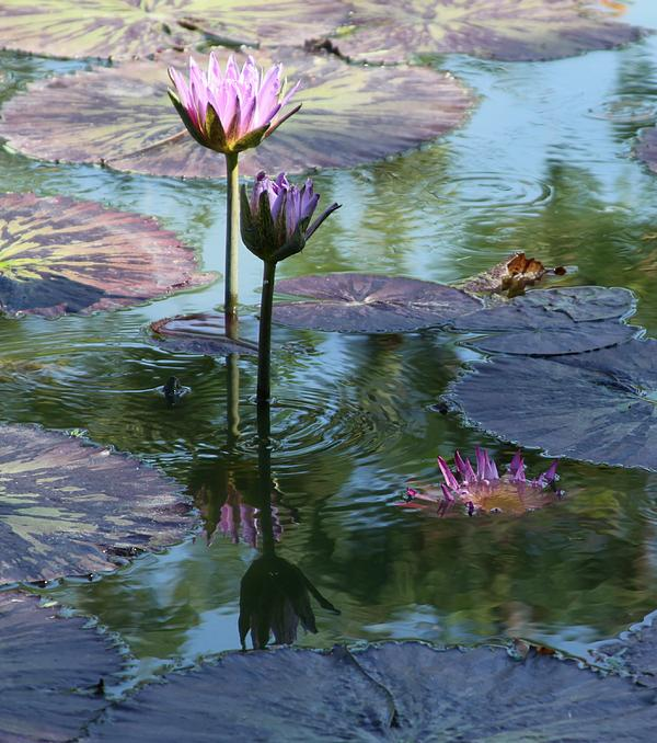 John Lautermilch - Ripples and Pink Lilies