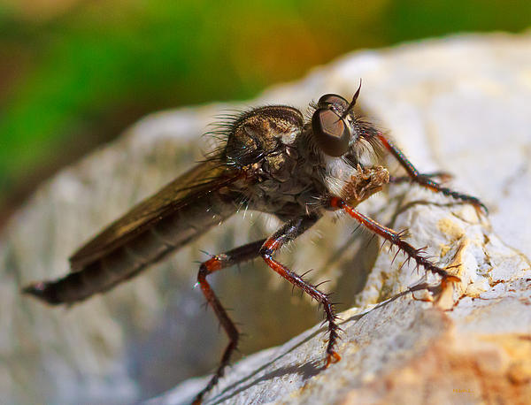 Mitch Shindelbower - Robber Fly 2