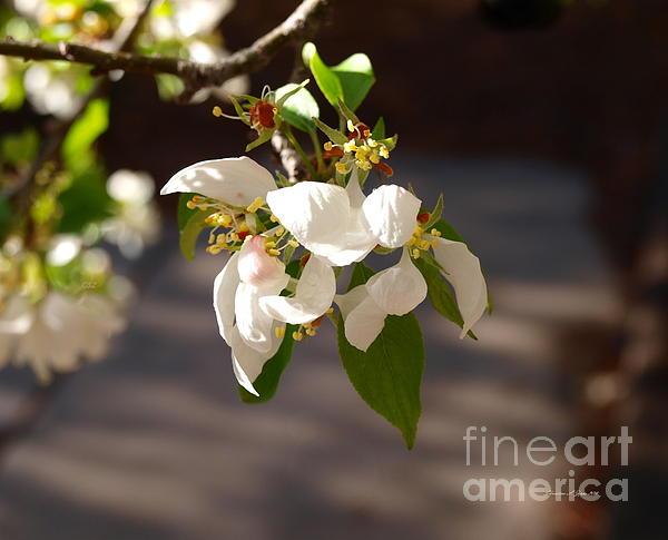 Rocky Mountain Apple Blossoms I Print by Christine S Zipps