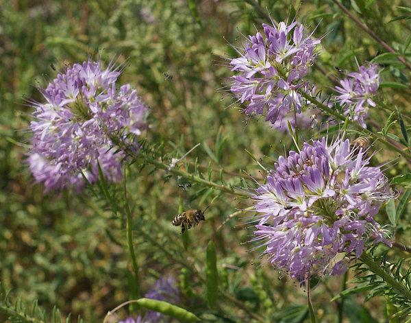 Ernie Echols - Rocky Mountain Bee Plant