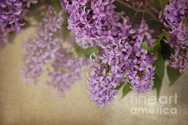 Cheryl Davis - Romantic Lilac