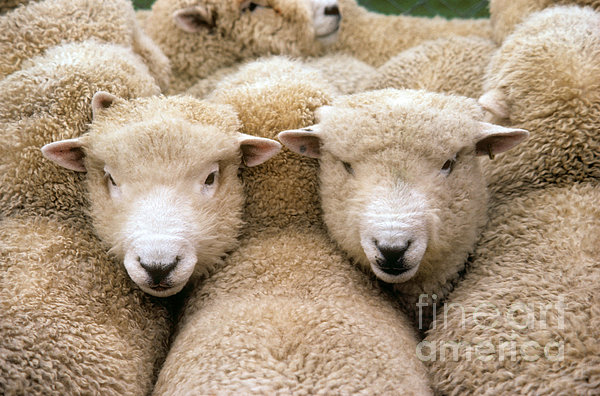 Romney Sheep Print by Gregory G Dimijian and Photo Researchers