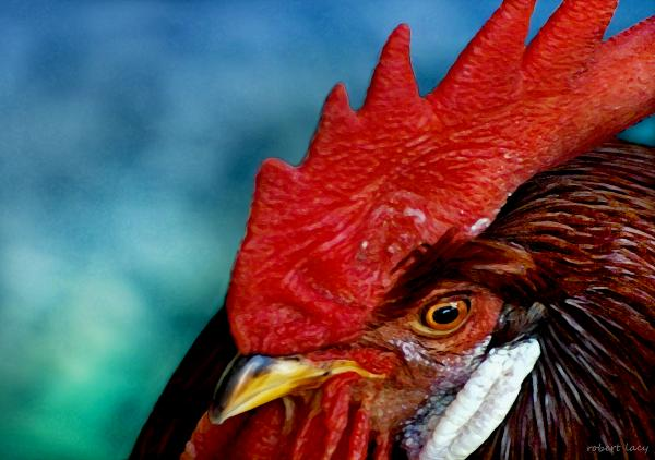 Rooster Print by Robert Lacy