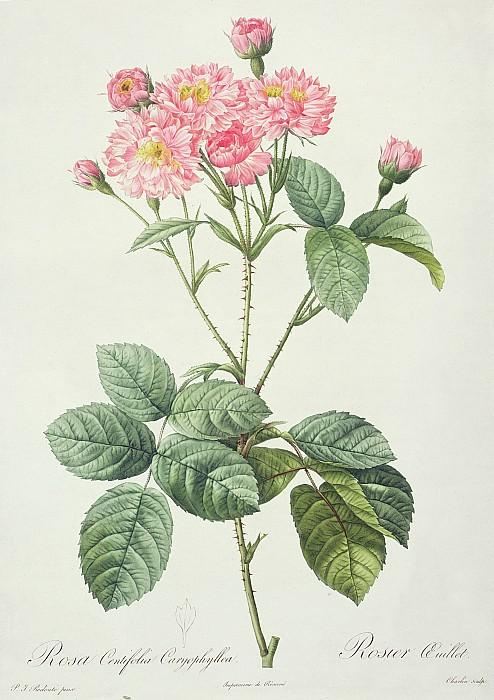 Rosa Centifolia Caryophyllea Print by Pierre Joseph Redoute