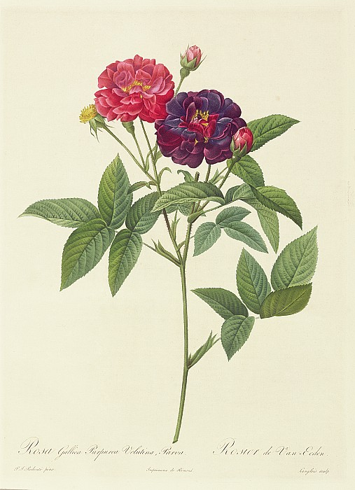 Rosa Gallica Purpurea Velutina Print by Pierre Joseph Redoute