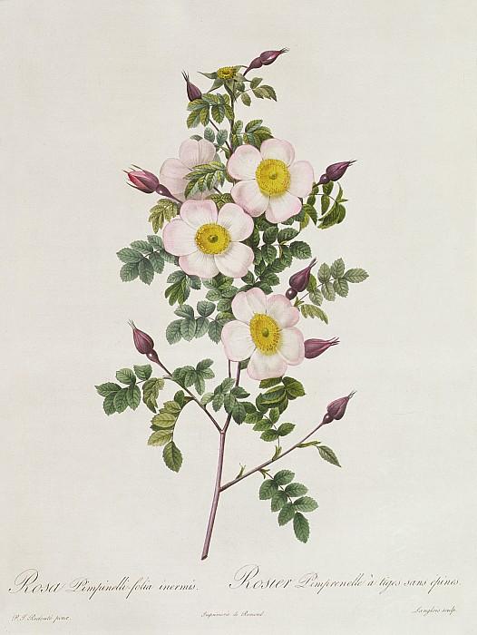 Rosa Pimpinelli Folia Inermis Print by Pierre Joseph Redoute