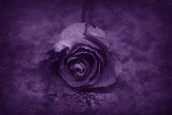Rose - Purple Print by Angie Tirado