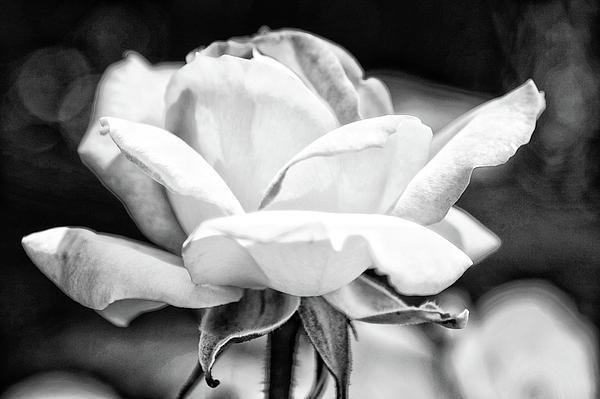 Rose 2 Print by Rosanne Nitti