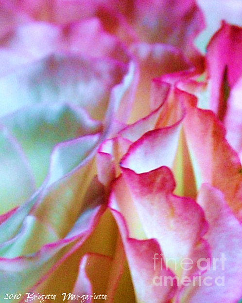 Brigetta  Margarietta - Rose Abstraction