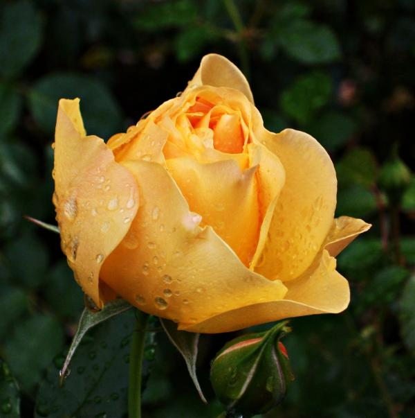 Rose after the rain Photograph