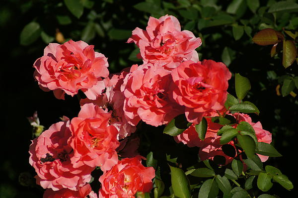 Rose Bouquet Print by Bj Hodges