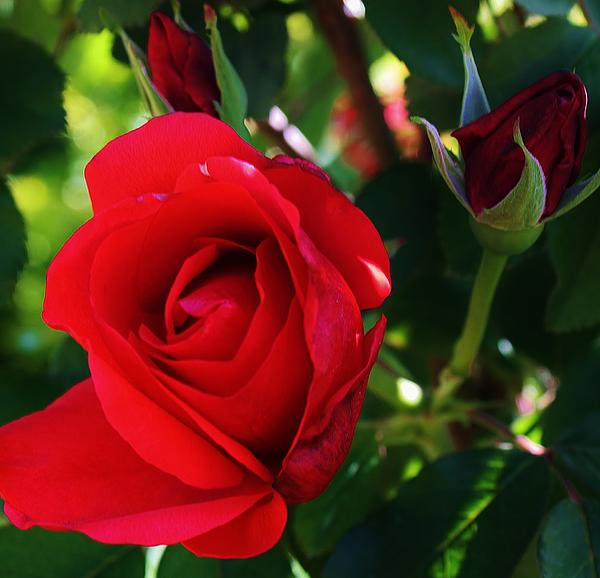 Rose Delight Print by Bruce Bley