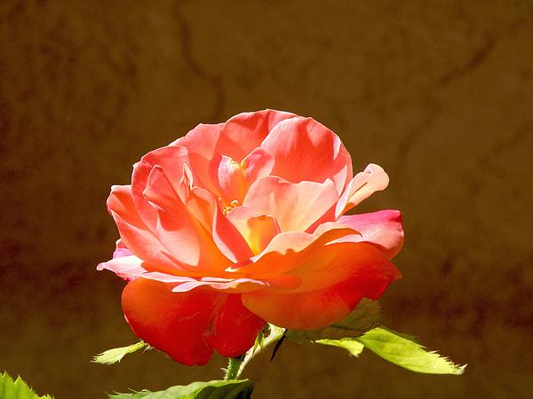 Rose Print by FeVa  Fotos
