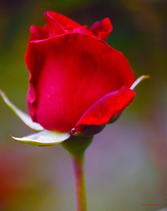 Rose I Print by DiDi Higginbotham
