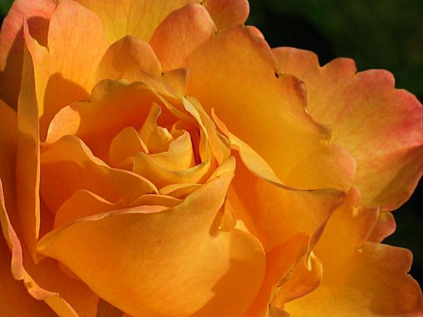 Rose In Ruffles Print by Mg Rhoades