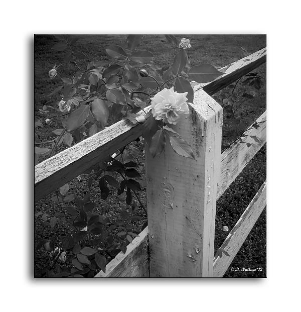 Rose On The Fence - Grayscale Print by Brian Wallace