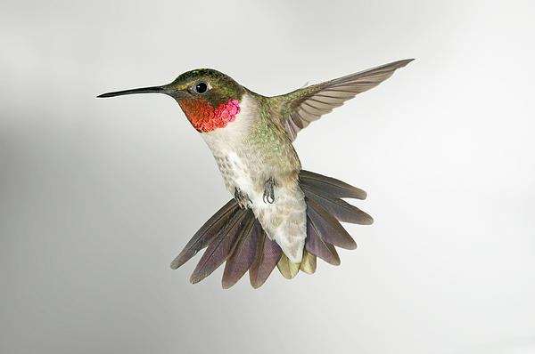 Ruby Throat Hummingbird Print by Gregory Scott