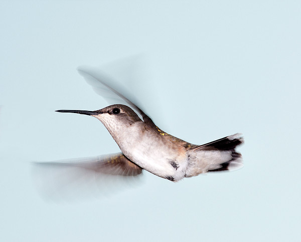 Ruby-throated Hummingbird In Flight Print by Jim McKinley