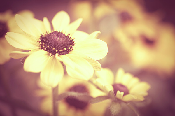 Rudbeckia Flowers Print by Dhmig Photography