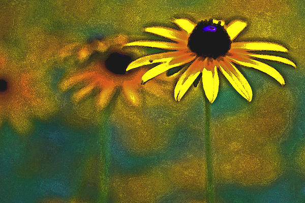 Tom Gari Gallery-Three-Photography - Rudbeckia hirta