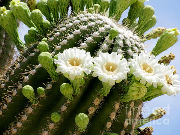 Marilyn Smith - Saguaro Blooms ll